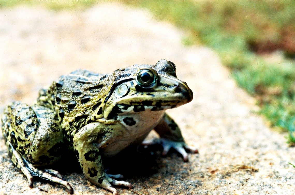 The Indian Bull Frog is in eminent danger